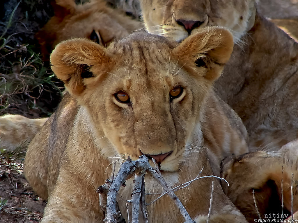 This lion cub was innocence personified as it stared unblinkingly at the camera.