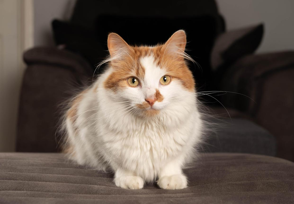 Bruno the cat, a nominee in the 2021 Cats Protection National Cat Awards
