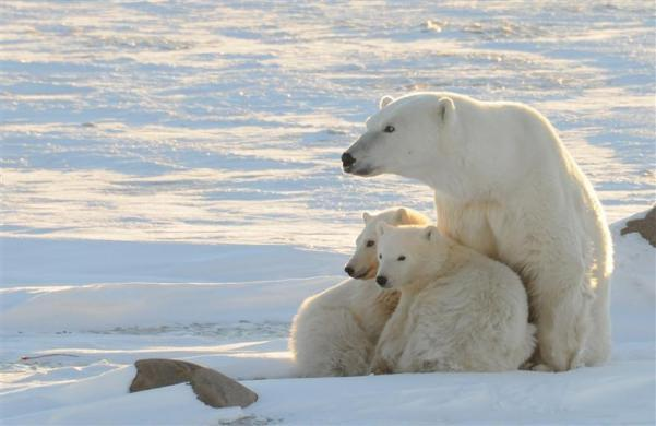 A World Wildlife Fund photograph taken along the western shore of Hudson Bay in November 2010 shows a female polar bear with two cubs near Churchill, Canada, in this image released to Reuters on February 9, 2011.