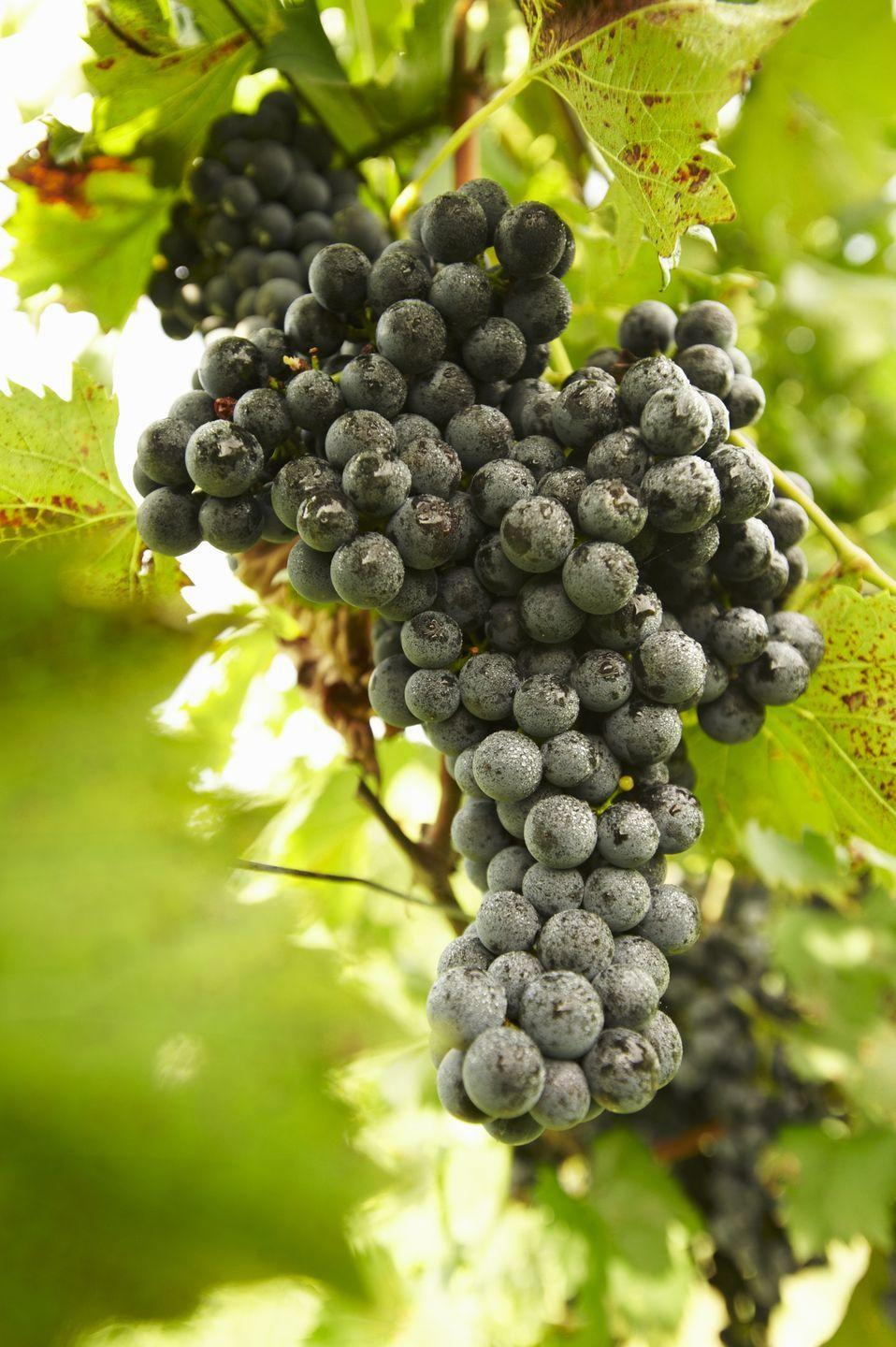<p><strong>State Red Wine Grape: Chambourcin </strong></p><p>In 2019, the state declared the Chambourcin their official red wine grape, and the Vignoles became the official white wine grape. </p>