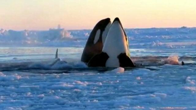 Killer Whales Trapped Under Sea Ice (ABC News)