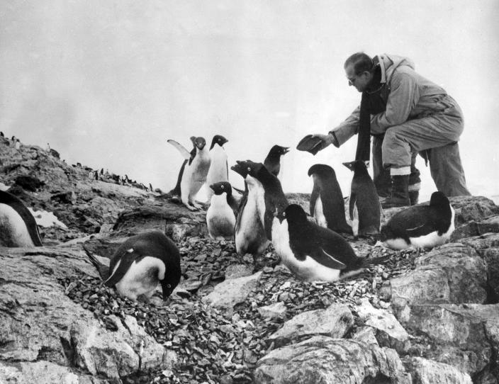 FILE - In this Feb. 8, 1957 file photo, Prince Phillip, the Duke of Edinburgh feeds a colony of penguins during a visit to the Antarctic. Buckingham Palace officials say Prince Philip, the husband of Queen Elizabeth II, has died, it was announced on Friday, April 9, 2021. He was 99. Philip spent a month in hospital earlier this year before being released on March 16 to return to Windsor Castle. Philip, also known as the Duke of Edinburgh, married Elizabeth in 1947 and was the longest-serving consort in British history. (AP Photo/File)