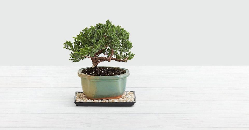 "<p><strong>Juniper</strong></p><p>proflowers.com</p><p><strong>$47.25</strong></p><p><a href=""https://go.redirectingat.com?id=74968X1596630&url=https%3A%2F%2Fwww.proflowers.com%2Fproduct%2Fjuniper-bonsai-tree-prd-p1457%3Fref%3DPFCFeedGoogleNB%26PRID%3DPFPLA2539%26gclid%3DCj0KCQiA2af-BRDzARIsAIVQUOcbjiaq9sC-nduPr6Uu-oyo6js_KaYPes22QwUOJHJr8xdbG_Qc_GsaAoADEALw_wcB&sref=https%3A%2F%2Fwww.veranda.com%2Fluxury-lifestyle%2Fg34867230%2Ffestive-winter-houseplants%2F"" rel=""nofollow noopener"" target=""_blank"" data-ylk=""slk:Shop Now"" class=""link rapid-noclick-resp"">Shop Now</a></p>"