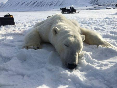 CORRECTING CONDITION OF THE BEAR: A three year-old male polar bear after it was sedated near Longyearbyen, Norway, April 22, 2016. Governor of Svalbard Office/Handout via REUTERS