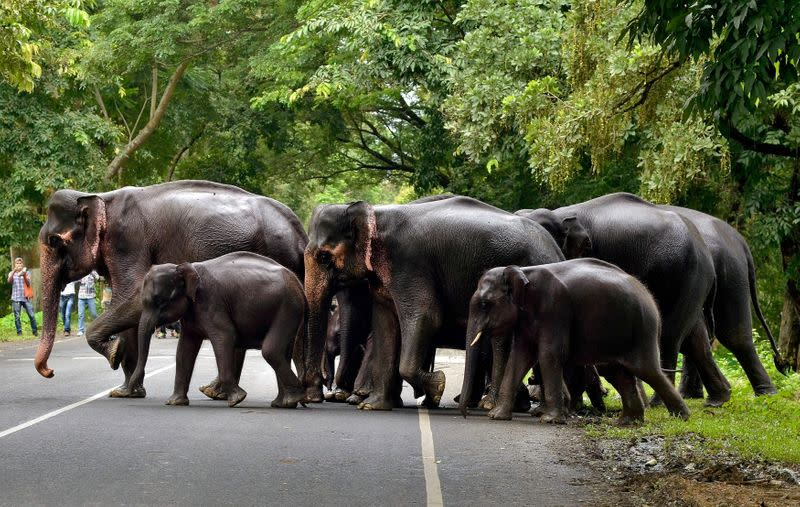 FILE PHOTO: FILE PHOTO: A herd of elephants cross a road that passes through the flooded Kaziranga National Park in the northeastern state of Assam