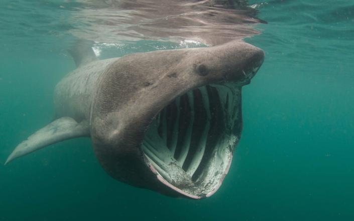 A basking shark, one of the species which has a liver rich in squalene - Grant Henderson / Alamy Stock Photo