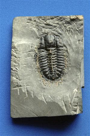 A fossil of a trilobite, a horsecrab-like creature that thrived in the seas for hundreds of millions of years before becoming one of many kinds of animals wiped out in a mass extinction that befell the planet 252 million years ago, is shown in this handout photo provided by the University of Chicago March 31, 2014. REUTERS/Dan Dry/University of Chicago/Handout via Reuters