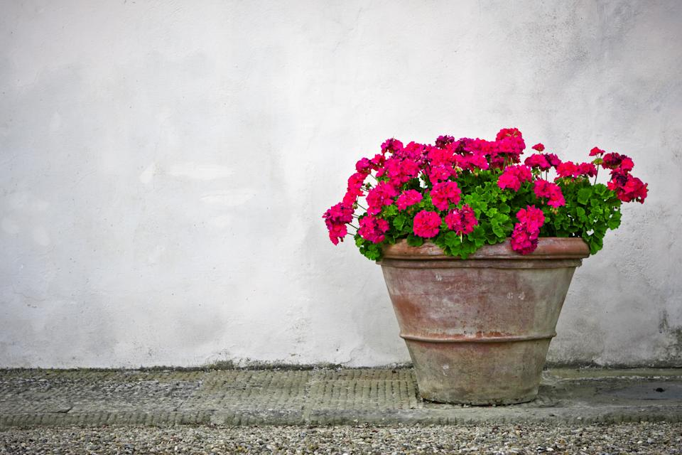 Is it time to rethink geraniums? (Getty Images)