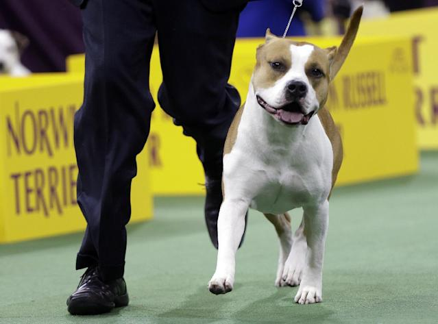 An American Staffordshire terrier competes in the terrier group during the Westminster Kennel Club dog show, Tuesday, Feb. 11, 2014, in New York. (AP Photo/Frank Franklin II)