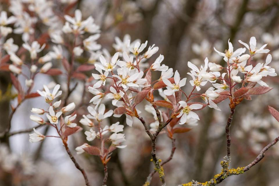 """<p>The best time to plant a smooth serviceberry tree is in the autumn so that it has a chance to establish before winter arrives. Like many serviceberries, this species also provides interest throughout several seasons. </p><p><a class=""""link rapid-noclick-resp"""" href=""""https://www.thompson-morgan.com/p/amelanchier-lamarckii/T58264TM"""" rel=""""nofollow noopener"""" target=""""_blank"""" data-ylk=""""slk:BUY NOW VIA THOMPSON & MORGAN"""">BUY NOW VIA THOMPSON & MORGAN</a></p>"""