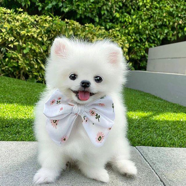 """<p>Dog or a fluffy pillow that barks? Who's to say when it comes to Pomeranians—but we <em>can</em> all agree these little fuzzies are absolutely adorable. They're known for being an extremely smart breed, so you can have a less-than-10-pound genius sidekick for a dog. Dressing them in bows isn't required, but it is encouraged.</p><p><a href=""""https://www.instagram.com/p/B4o_u69FyDv/"""">See the original post on Instagram</a></p>"""