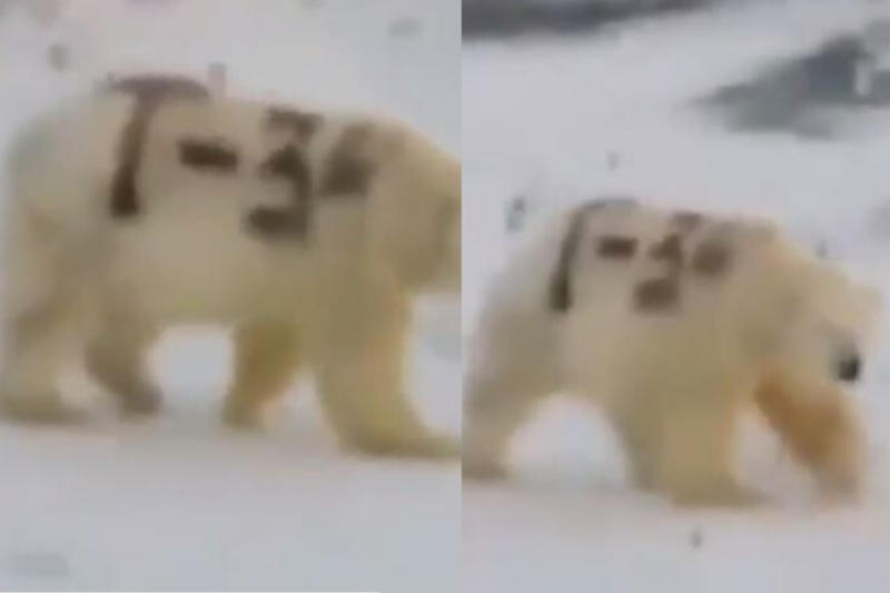Hooligans Spray Polar Bear with 'T-34' in Russia, Environmentalists Outraged