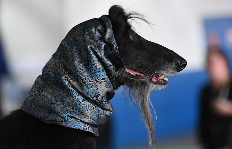 An Afghan Hound waits in the benching area during the Daytime Session in the Breed Judging across the Hound, Toy, Non-Sporting and Herding groups at the 143rd Annual Westminster Kennel Club Dog Show at Pier 92/94 in New York City on Feb. 11, 2019. (Photo: Timothy A. Clary/AFP/Getty Images)