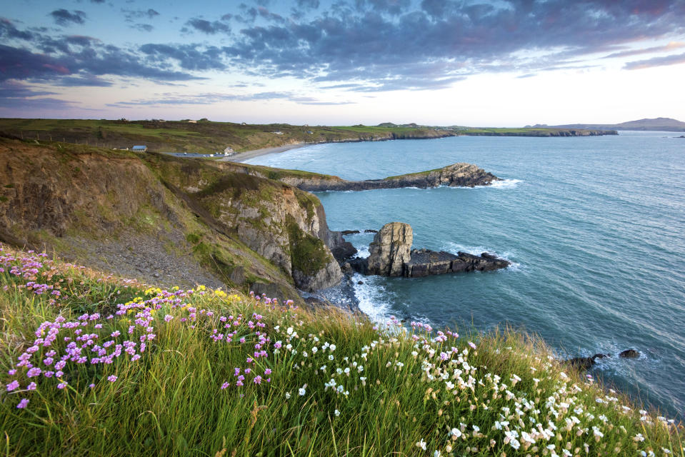 Wild flowers on the cliffs of Whitesands bay on the Pembrokeshire coast path near St Davids at sunset