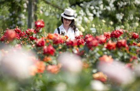 A woman photographs roses at Regent's Park in London
