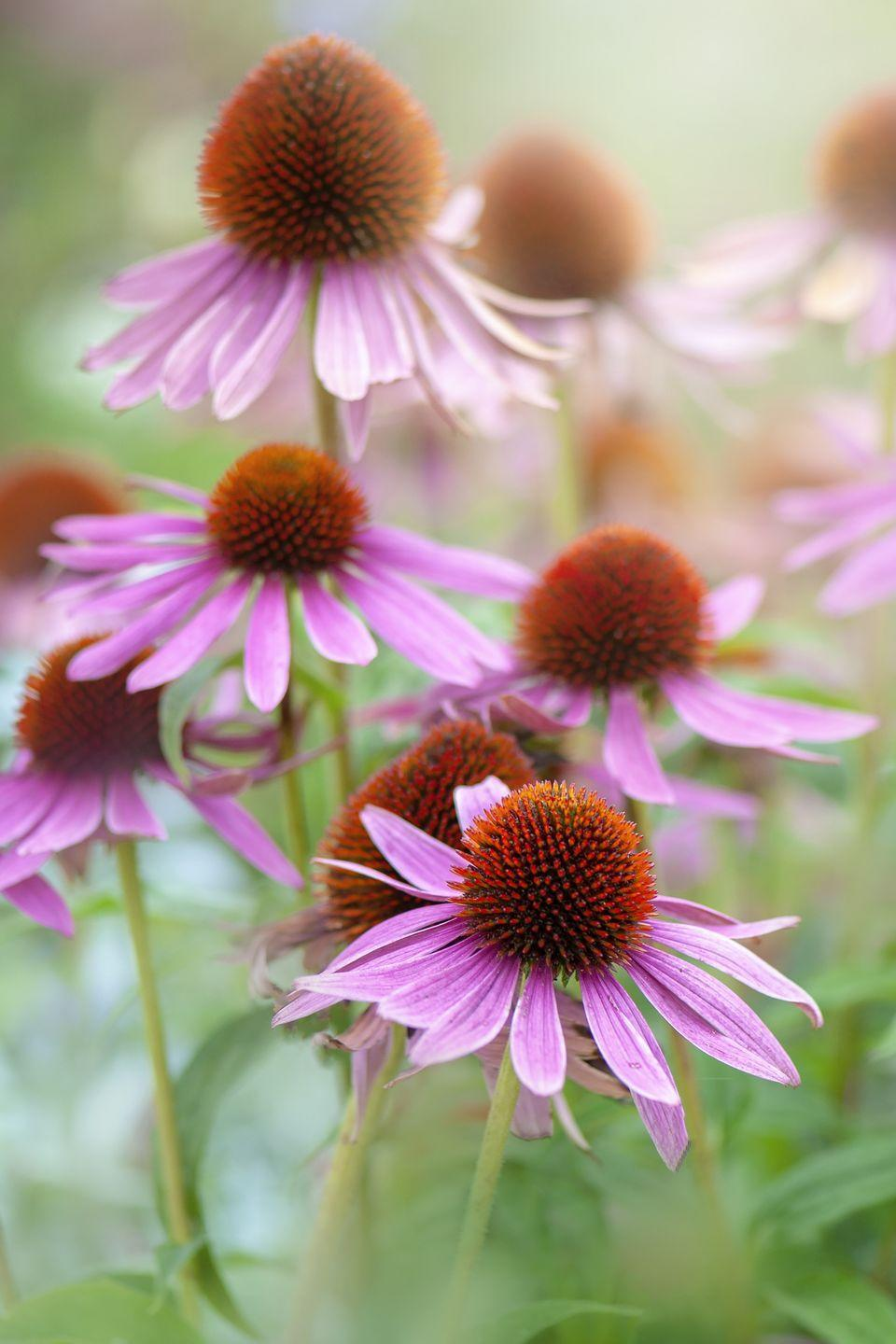 """<p>The orange centers of coneflowers (aka Echinacea) is full of rich nectar that will attract loads of honeybees. Plant these hardy, sun-loving plants in the fall or spring. </p><p><a class=""""link rapid-noclick-resp"""" href=""""https://www.amazon.com/Sweet-Yards-Seed-Co-Coneflower/dp/B07N31MXK3/?tag=syn-yahoo-20&ascsubtag=%5Bartid%7C10050.g.32157369%5Bsrc%7Cyahoo-us"""" rel=""""nofollow noopener"""" target=""""_blank"""" data-ylk=""""slk:SHOP NOW"""">SHOP NOW</a></p>"""