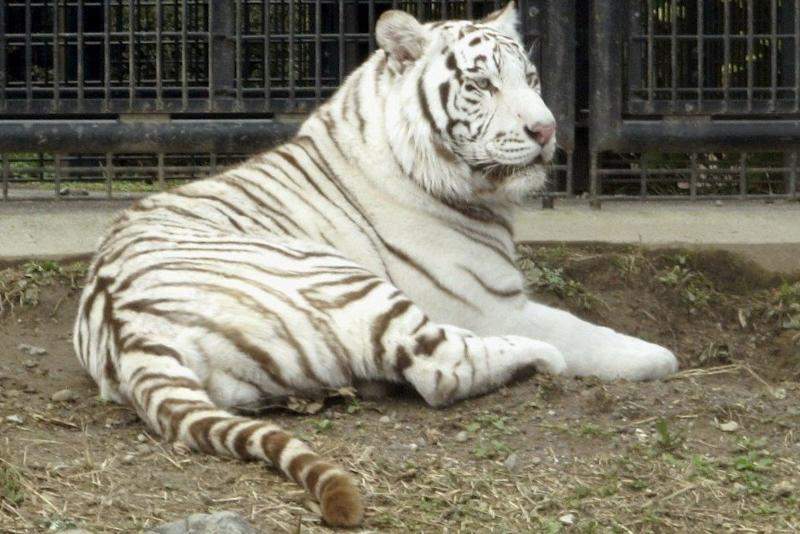 White tiger kills male zookeeper in southern Japan