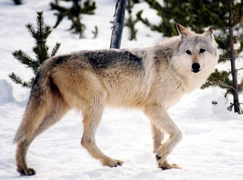 <p> FILE - This undated file image provided by Yellowstone National Park, Mont., shows a gray wolf in the wild. Western environmental groups say they're alarmed that the U.S. Fish and Wildlife Service is considering a plan to end federal protections for gray wolves in areas where the animals no longer exist. (AP Photo/National Park Service, MacNeil Lyons, File)