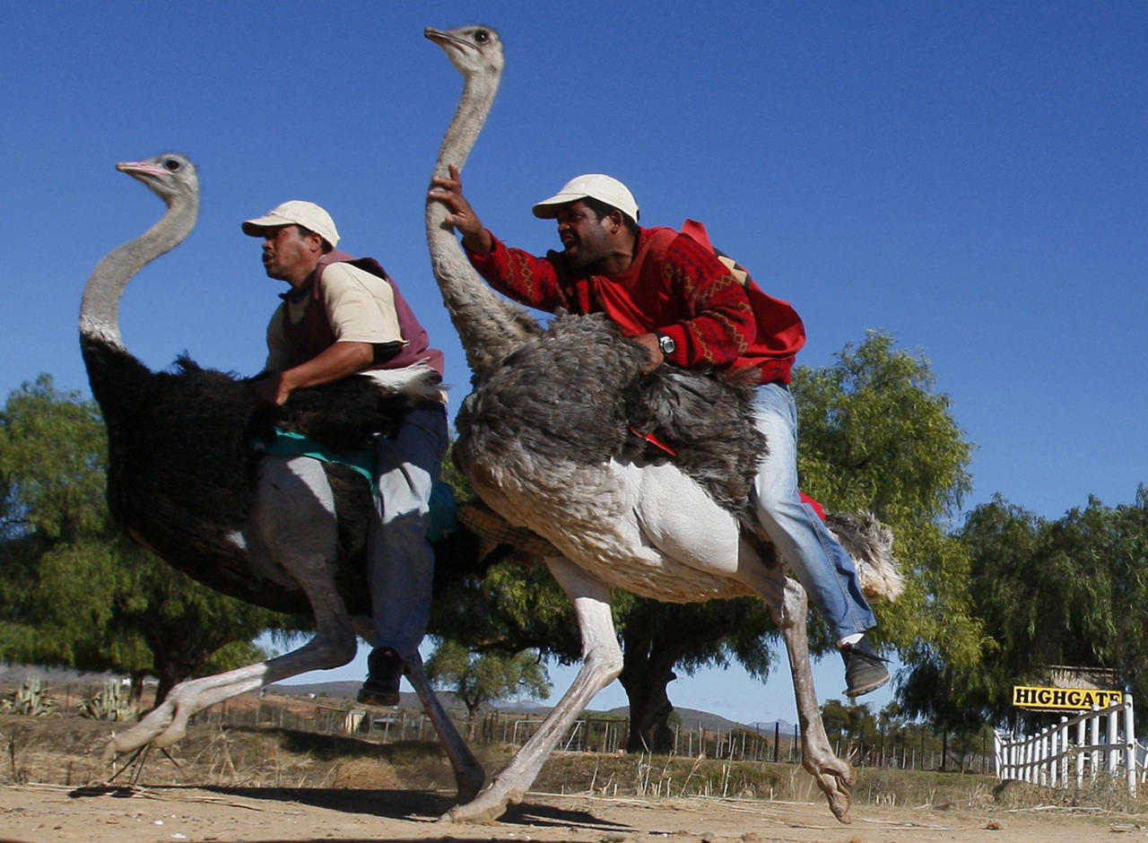 "FILE -- In this Sunday, June 27, 2010 file photo two men compete in an ostrich race at Highgate ostrich farm in Oudtshoorn, South Africa. Clambering onto an ostrich for a ride used to be popular among tourists in a South African town of Oudtshoorn known of as the ""ostrich capital of the world."" Not so much anymore. Two major ostrich farms in Oudtshoorn have stopped offering ostrich rides to tourists, responding to concerns about the birds' welfare. A third farm is sticking with the feature, saying it is regulated and that ostriches do not experience discomfort.. The Highgate farm, however, continues to offer ostrich rides.(AP Photo/Shuji Kajiyama, File)"
