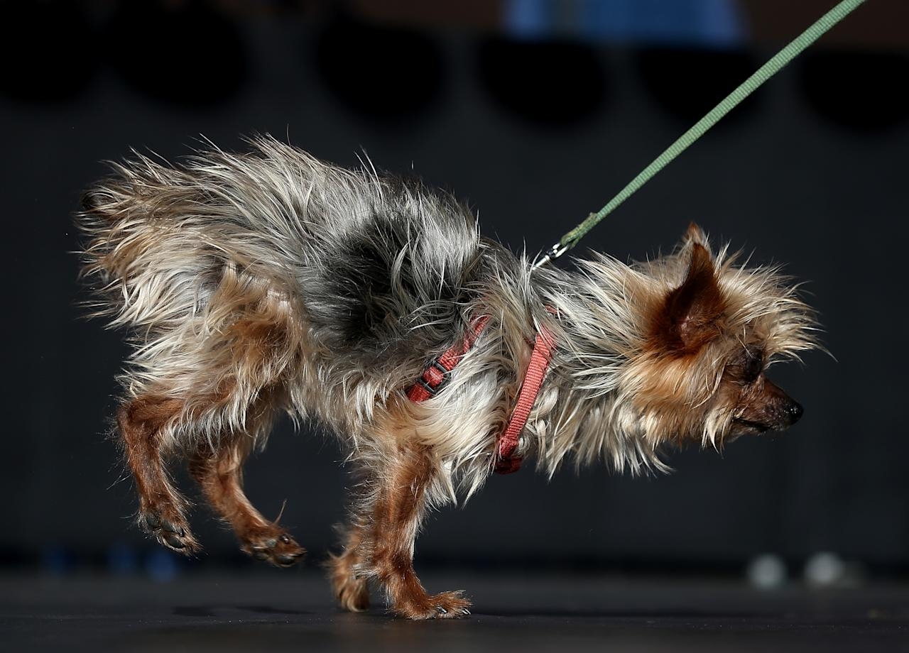 PETALUMA, CA - JUNE 21: Mayzie Brown, a Pomeranian, walks on stage during the 25th annual World's Ugliest Dog contest at the Sonoma Marin Fair on June 21, 2013 in Petaluma, California. Walle, a basset and beagle mix won the honor of being the world's ugliest dog. (Photo by Justin Sullivan/Getty Images)