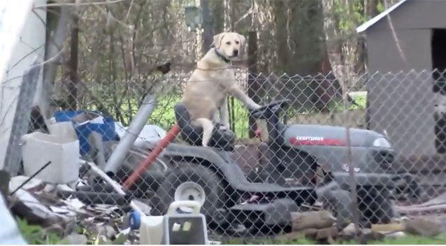 This golden labrador sits perched atop a lawnmower like a boss. Picture: Facebook/KYTX CBS19