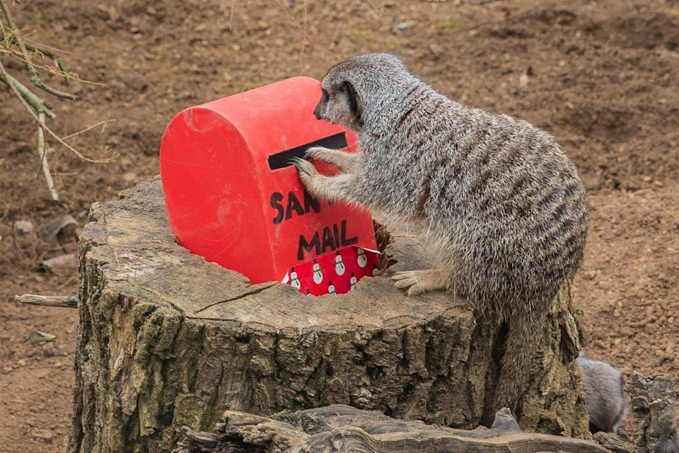 One of the resident meerkats at London Zoo 'posting their Christmas wishlist' to Santa Claus (PA)