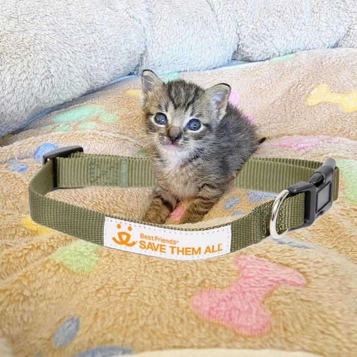 A tiny kitten sits near a large dog collar. (Courtesy of Best Friends Animal Society)