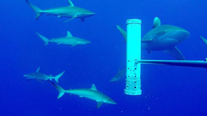 Silky sharks on an expedition to Ascension Island. (Marine Futures Lab / University of Western Australia)