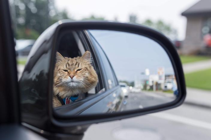 Cats are considered as 'free roaming animals', so are governed by different laws than dogs. (Getty)