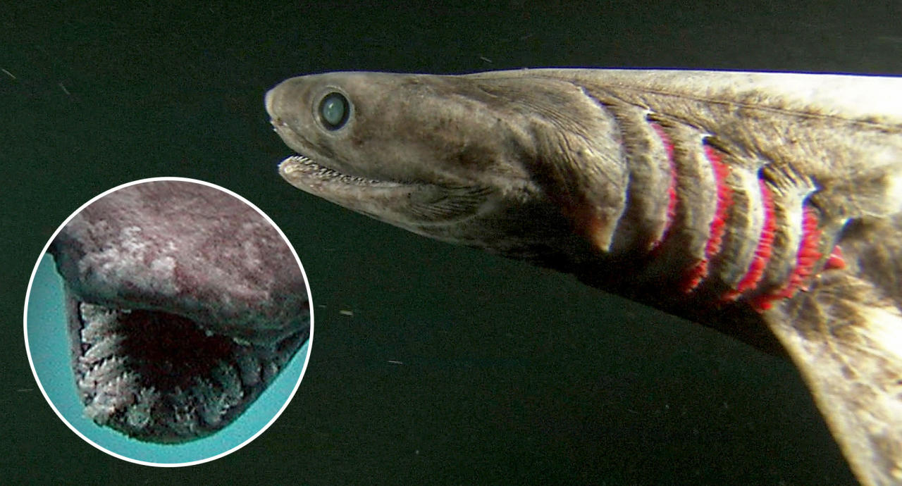 A frilled shark, a very old type species of shark, sometimes called a living fossil. Part of red gills are exposed to efficiently take oxygen from the water in the abyss containing much less oxygen than near the surface.