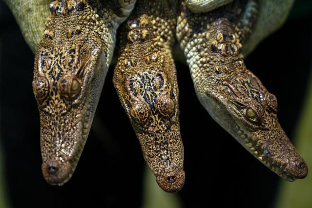 <p>A worker holds young crocodiles at Sri Ayuthaya Crocodile Farm in Ayutthaya province, Thailand, May 23, 2017. (Photo: Athit Perawongmetha/Reuters) </p>