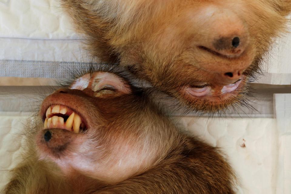 A pair of monkeys recovering before being released into the wild. (Reuters)