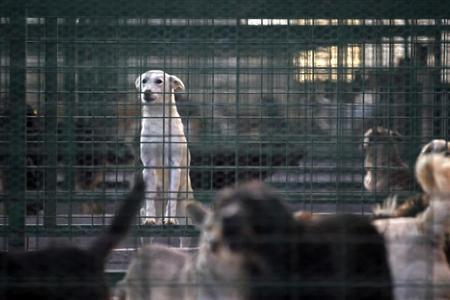 Stray dogs look out from their enclosure at Dogtown kennel in Uzunu, 40 km (24 miles) south of Bucharest November 17, 2013. REUTERS/Bogdan Cristel