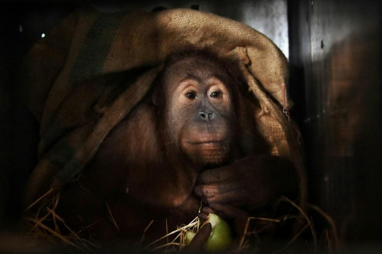 Sumatran orangutans are critically endangered; but poachers frequently capture them to sell as pets on the black market