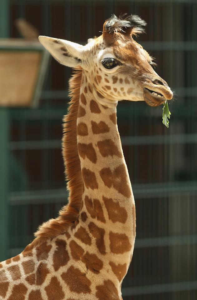 BERLIN, GERMANY - JUNE 29:  Jule, a baby Rothschild giraffe, munches on a branch in her enclosure at Tierpark zoo on June 29, 2012 in Berlin, Germany. Jule was born at the zoo on June 10.  (Photo by Sean Gallup/Getty Images)