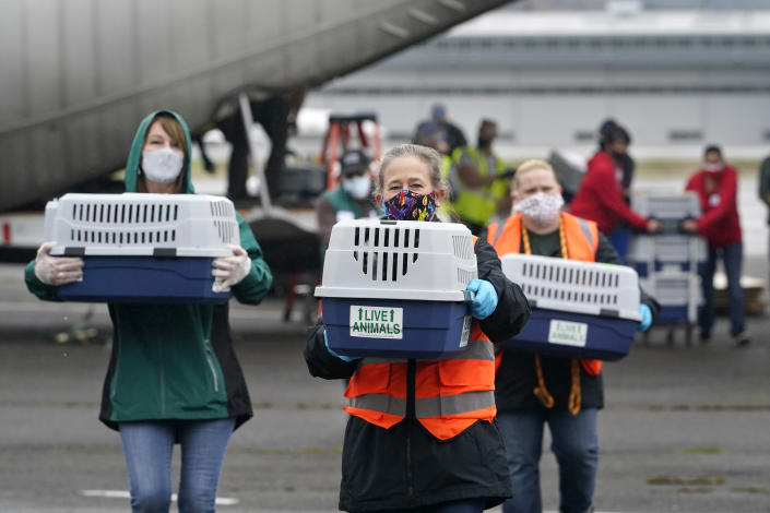"""Volunteers carry animals in kennels across the tarmac after the landing of a """"Paws Across the Pacific"""" pet rescue flight Thursday, Oct. 29, 2020, in Seattle. Volunteer organizations flew more than 600 dogs and cats from shelters across Hawaii to the U.S. mainland, calling it the largest pet rescue ever. The animals are being taken from overcrowded facilities in the islands to shelters in Washington state, Oregon, Idaho, and Montana. (AP Photo/Elaine Thompson)"""