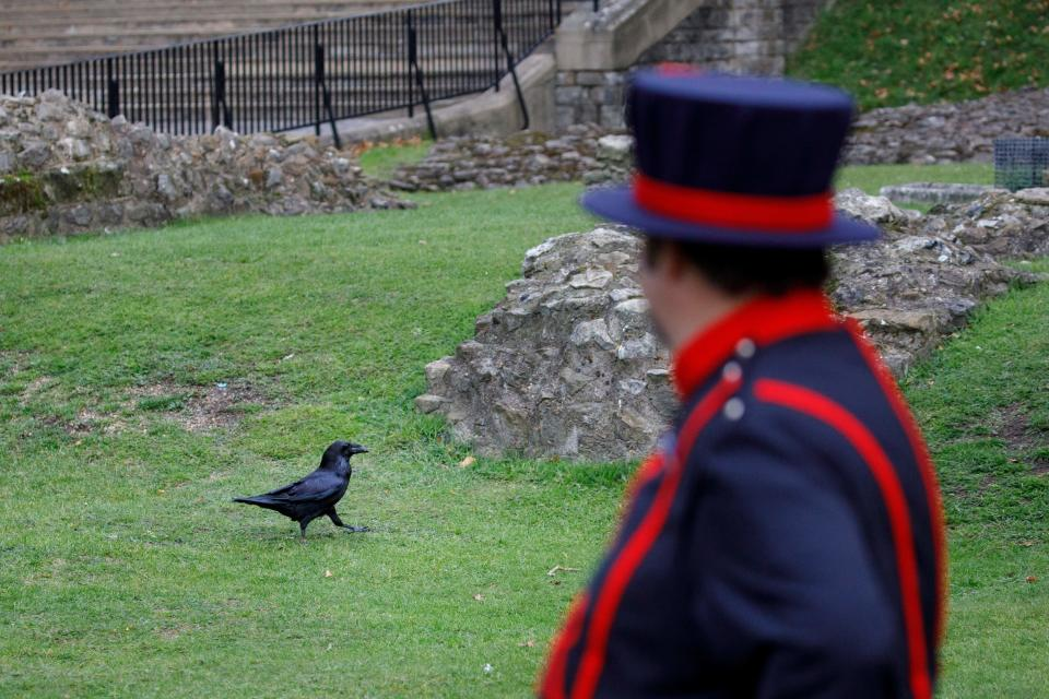 A ravens roams in the grounds after being fed by Yeoman Warder Ravenmaster Chris Skaife at the Tower of London in central London on October 12, 2020. / Credit: Photo by TOLGA AKMEN/AFP via Getty Images