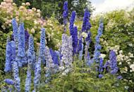 <p>Also known as larkspurs, delphinium is a whimsical perennial that blooms in the summer and fall. These flowers are perfect choices for those living in USDA Hardiness Zones 3-7.</p>