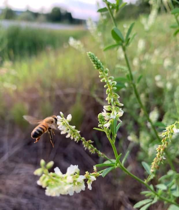 Wildflowers have supplied plenty of nectar to honeybees this summer. (Frank Leplante - image credit)