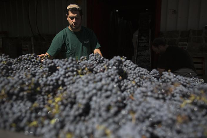 A religious Jew processes just-harvested cabernet sauvignon grapes for the Bazelet Hagolan Winery at Kidmat Tzvi in the Israeli-annexed Golan Heights on September 20, 2012 (AFP Photo/Menahem Kahana)