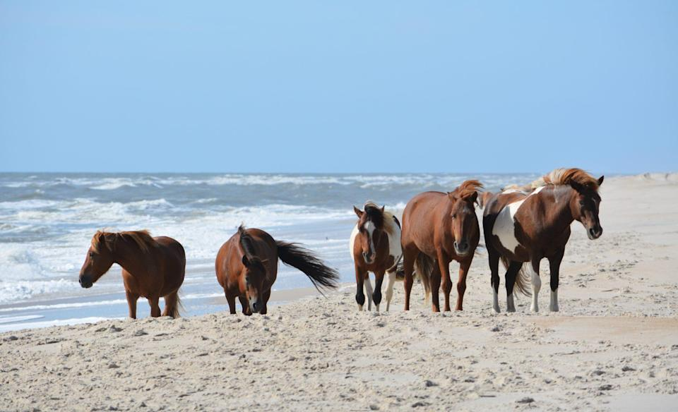 """<p>On <a href=""""https://www.assateagueisland.com/"""" rel=""""nofollow noopener"""" target=""""_blank"""" data-ylk=""""slk:Assateague Island"""" class=""""link rapid-noclick-resp"""">Assateague Island</a> off the coasts of Maryland and Virginia, more than 200 feral horses peacefully wander around the beaches and sandy dunes, much to the delight of visitors. The ponies are likely descendants of ones brought by mainland owners in the late 17th century. </p>"""