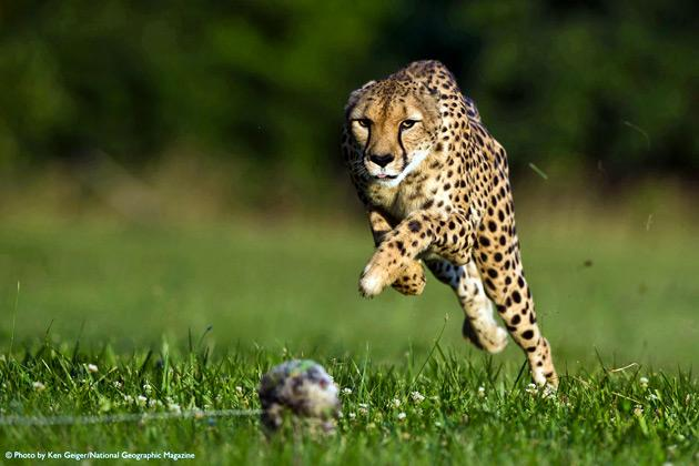 Sarah, an 11-year-old cheetah at the Cincinnati Zoo, breaks her own world record by running 100m in 5.95 seconds in this National Geographic magazine picture taken at the zoo's Regional Cheetah Breeding Facility (Mast Farm) in Clermont County, Ohio June 20, 2012. Sarah was clocked at 61mph (101kph) and broke her previous record of 6.13 seconds which she set in 2009.    REUTERS/© Ken Geiger/National Geographic Magazine/Handout