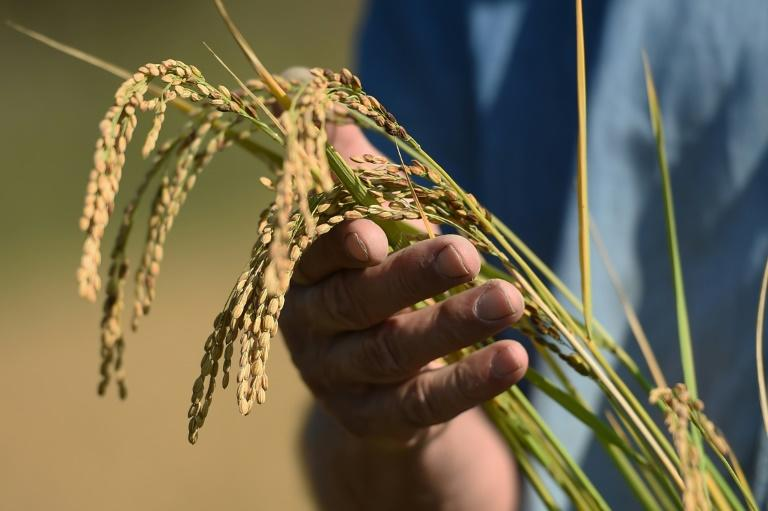Two French companies already produce sake domestically and French rice-growers have also banked on the drink