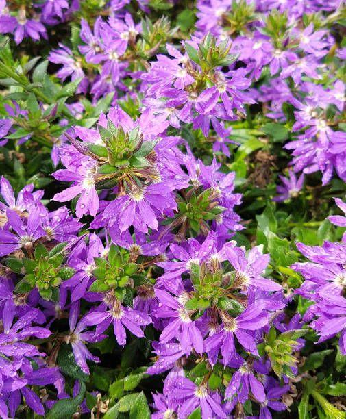 """<p>Fan flowers, which look like tiny fans, are pretty, hardy annuals that bloom all summer long. They come in shades of purple, blue, white and pink and look great spilling out of containers. Fan flowers need full sun. </p><p><a class=""""link rapid-noclick-resp"""" href=""""https://www.provenwinners.com/plants/scaevola/whirlwind-blue-fan-flower-scaevola-hybrid-0"""" rel=""""nofollow noopener"""" target=""""_blank"""" data-ylk=""""slk:SHOP FAN FLOWERS"""">SHOP FAN FLOWERS</a></p>"""