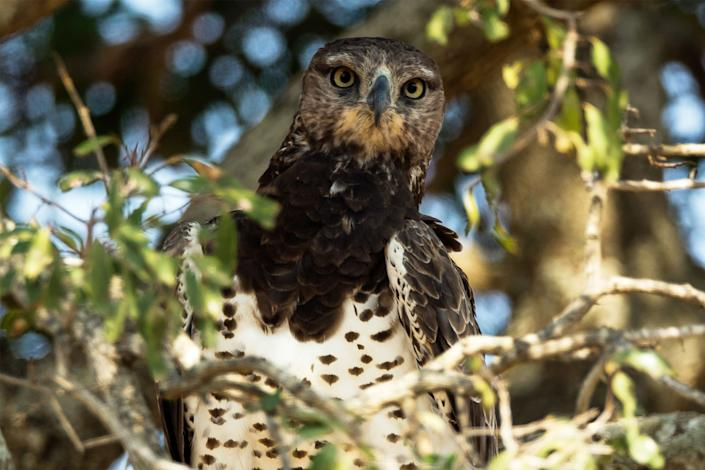 A martial eagle sits in a tree in Kruger National Park on July 7, 2013, in Lower Sabie, South Africa.