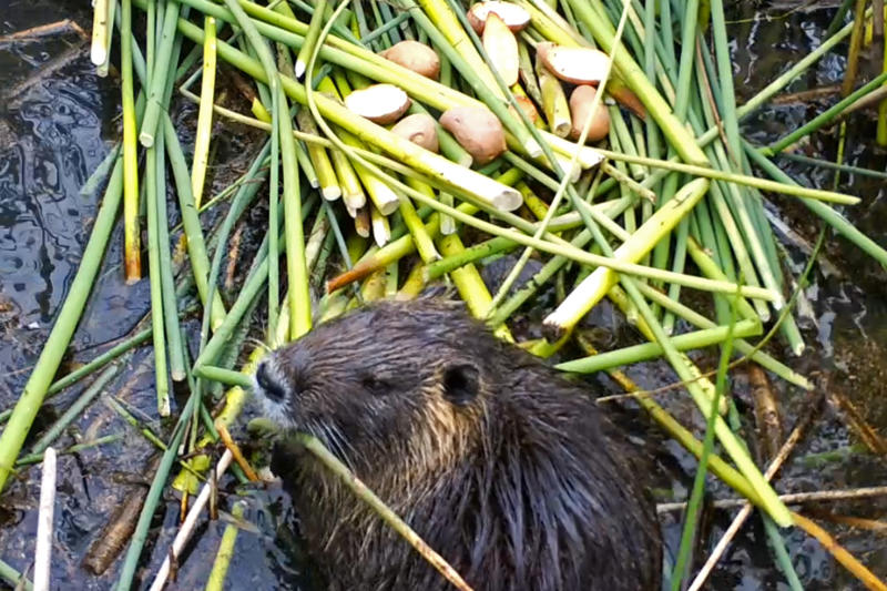 This April 18, 2019, photo provided by the California Department of Fish and Wildlife shows a nutria in Merced County, Calif. With $10 million in state funding, the Department of Fish and Wildlife is preparing to deploy new tactics in its efforts to eradicate nutria. (California Department of Fish and Wildlife via AP)