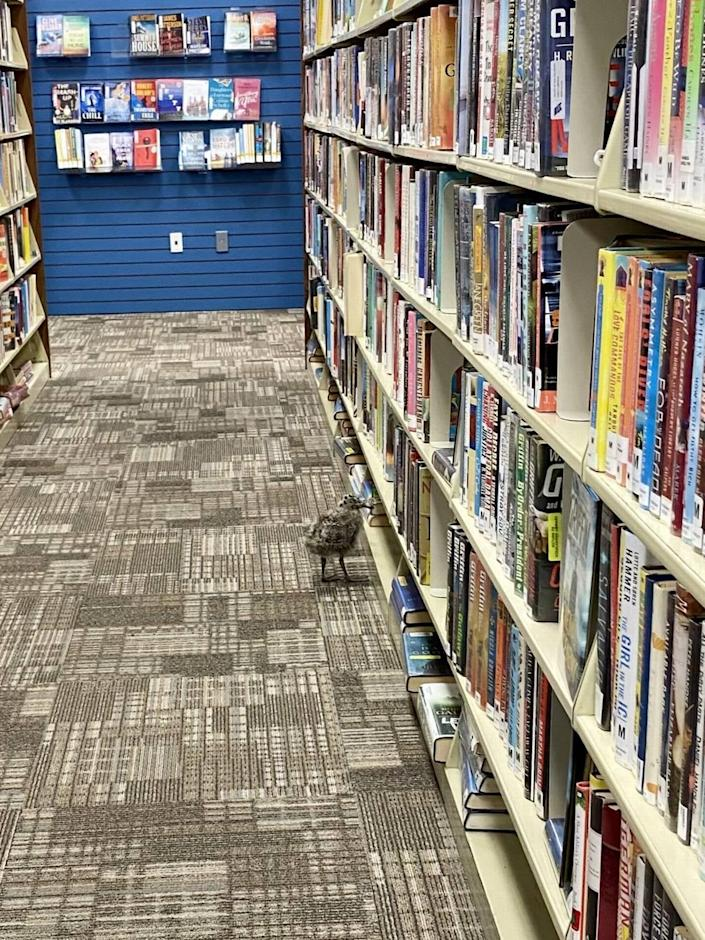 A baby seagull nicknamed Jonathan Livingston was briefly stuck in the Morro Bay Library before being rescued by Pacific Wildlife Care.