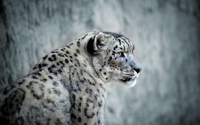 The snow leopard is one of the world's rarest and most beautiful cats and seeing one in the wild ranks among the most unforgettable wildlife experiences - LPETTET