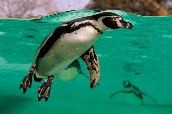 Six penguins die at London Zoo after malaria outbreak