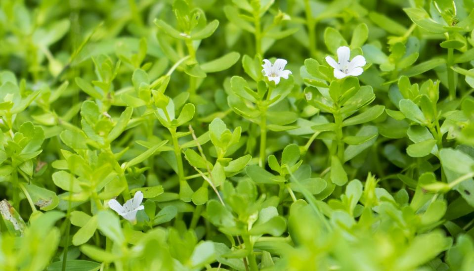 Brahmi is known for its properties of memory enhancing and increasing the intelligence